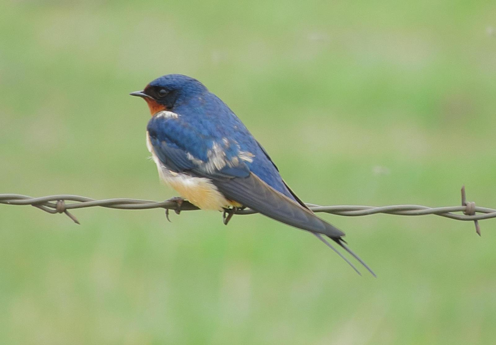 Barn Swallow Photo by Kent Jensen