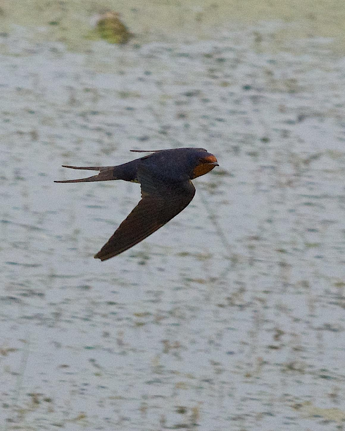 Barn Swallow Photo by Gerald Hoekstra
