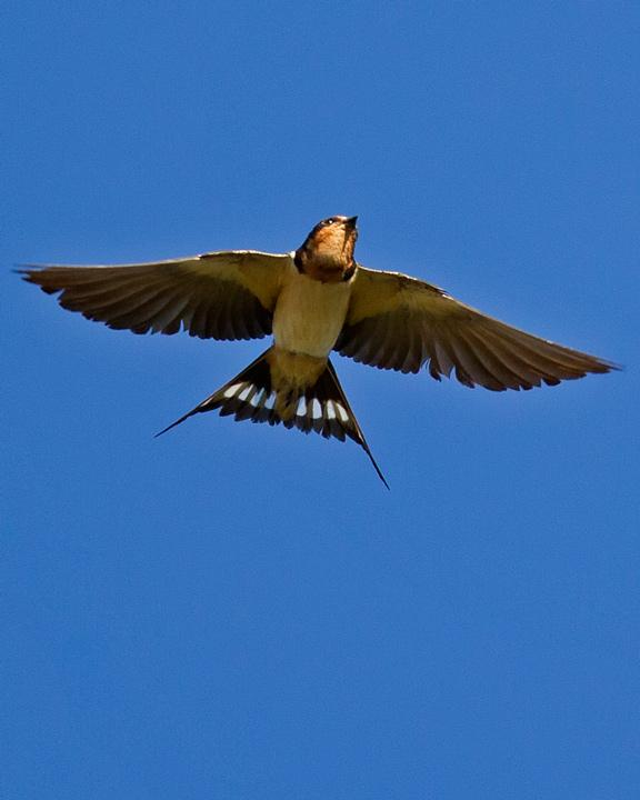 Barn Swallow Photo by Mat Gilfedder
