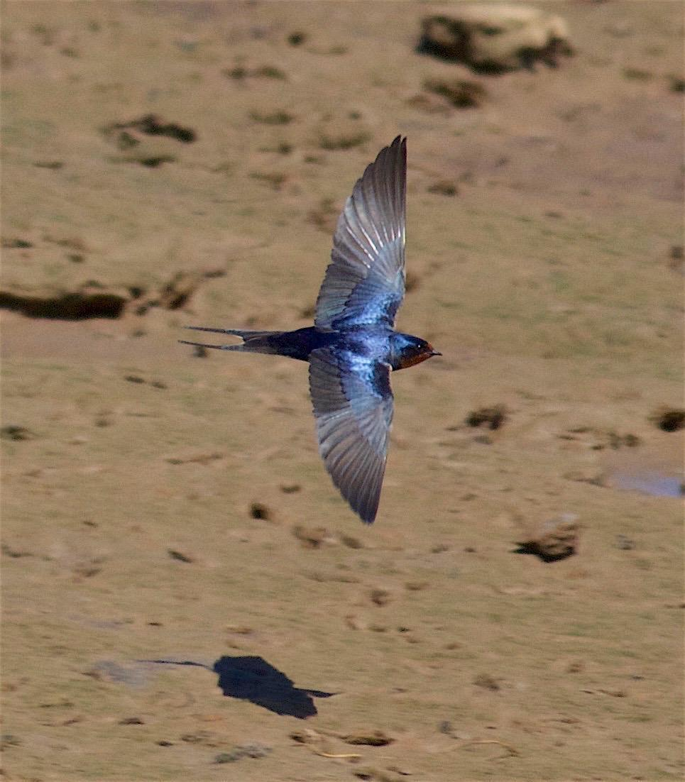 Barn Swallow Photo by Kathryn Keith