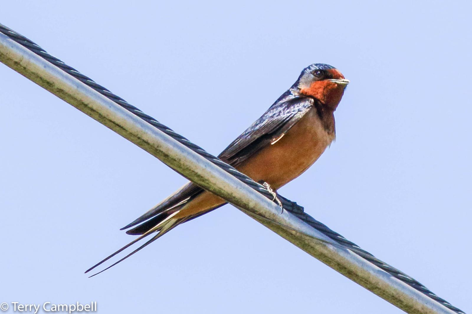 Barn Swallow Photo by Terry Campbell