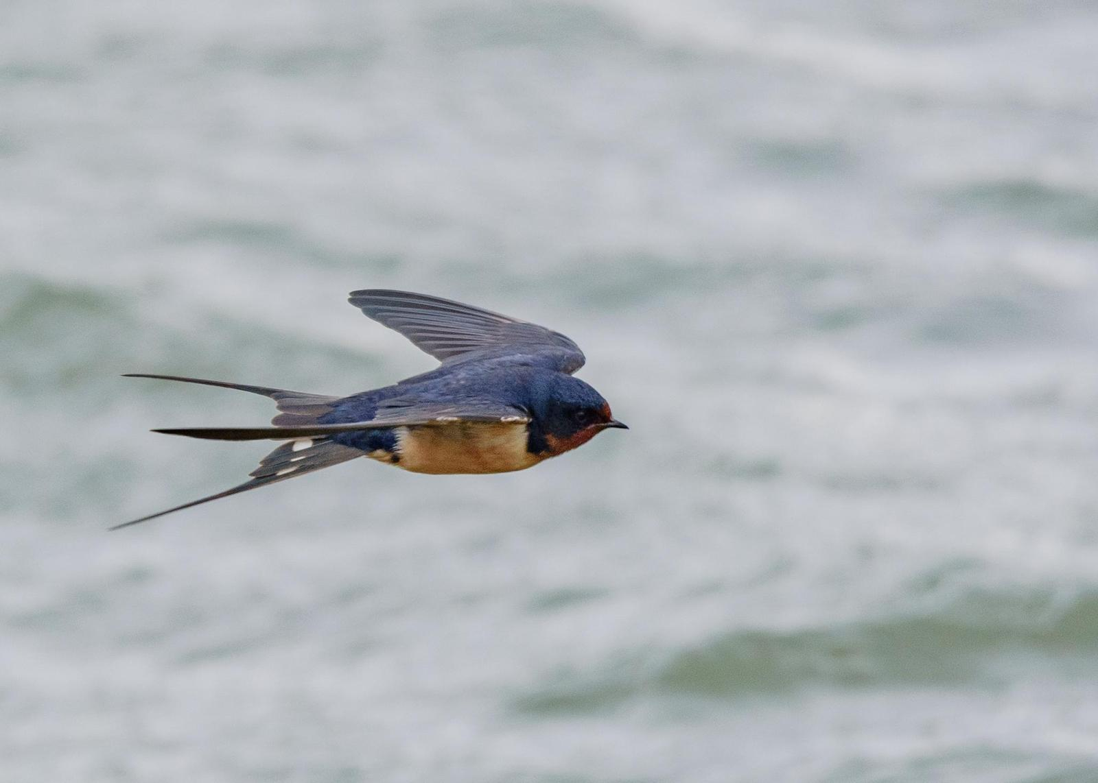 Barn Swallow Photo by Keshava Mysore