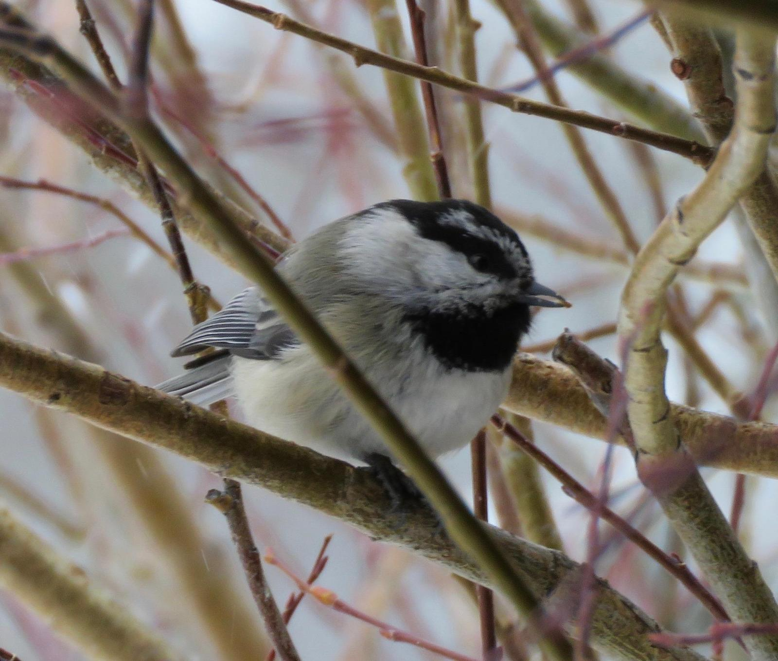 Mountain Chickadee (Rocky Mts.) Photo by Don Glasco