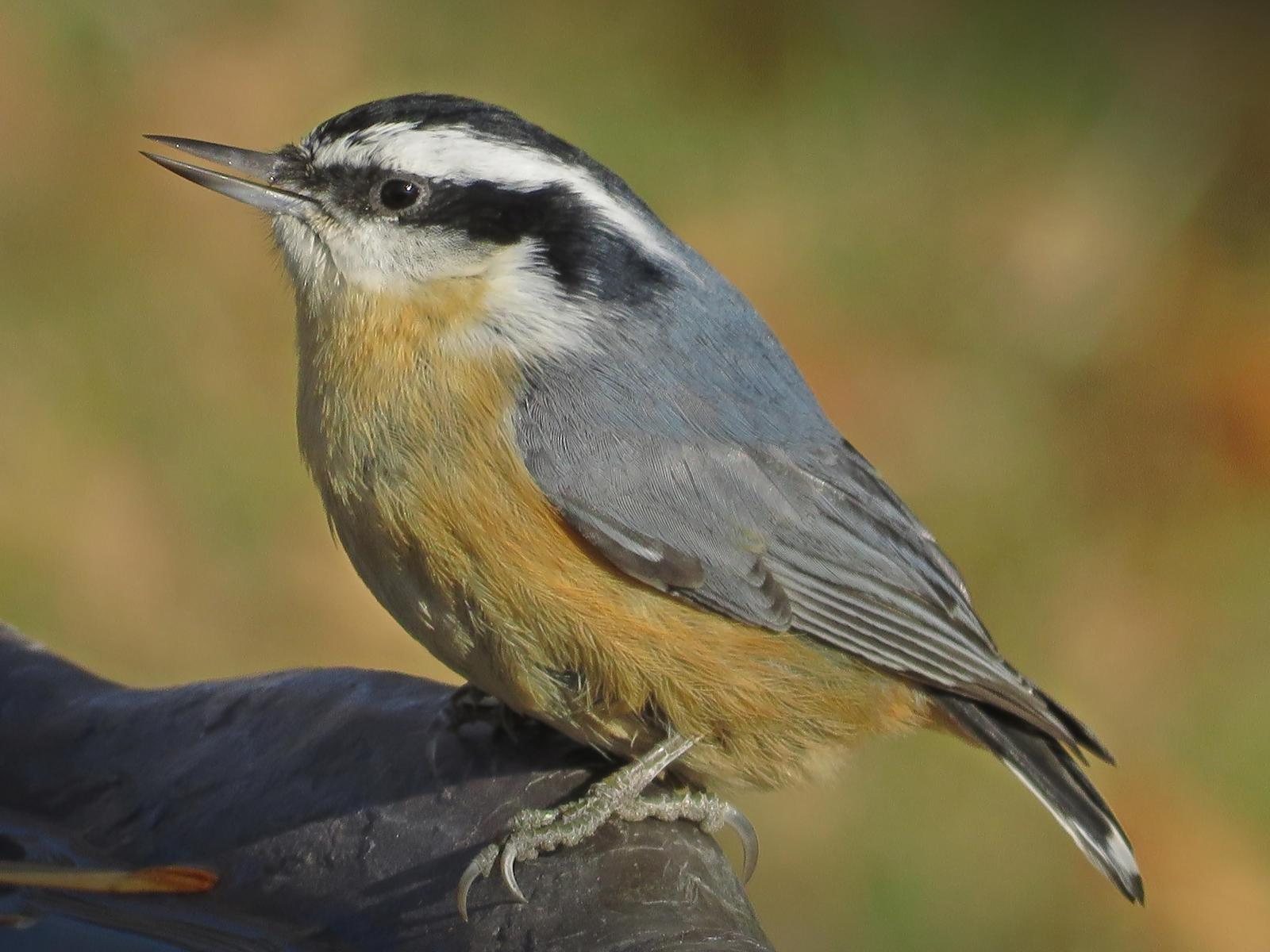 Red-breasted Nuthatch Photo by Bob Neugebauer