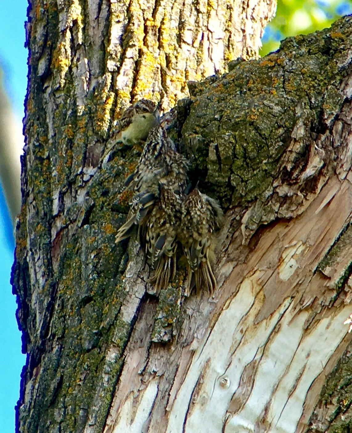 Brown Creeper Photo by Don Glasco