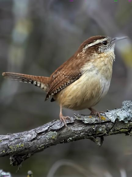 Carolina Wren Photo by Dan Tallman
