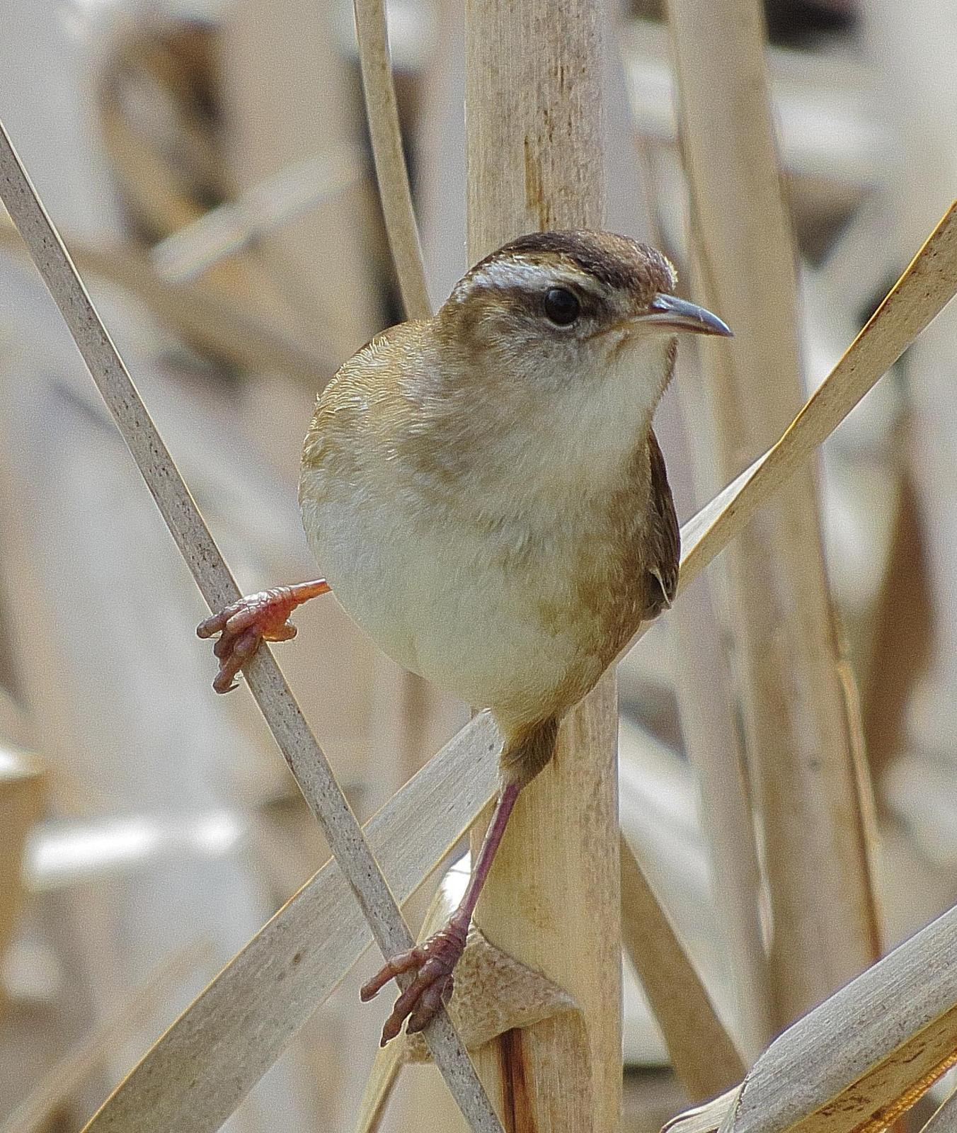 Marsh Wren Photo by Kent Jensen