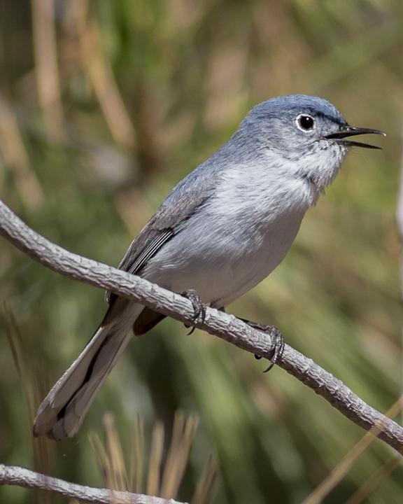 Blue-gray Gnatcatcher Photo by Anthony Gliozzo