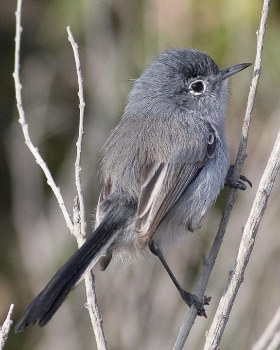 California Gnatcatcher Photo by Anthony Gliozzo