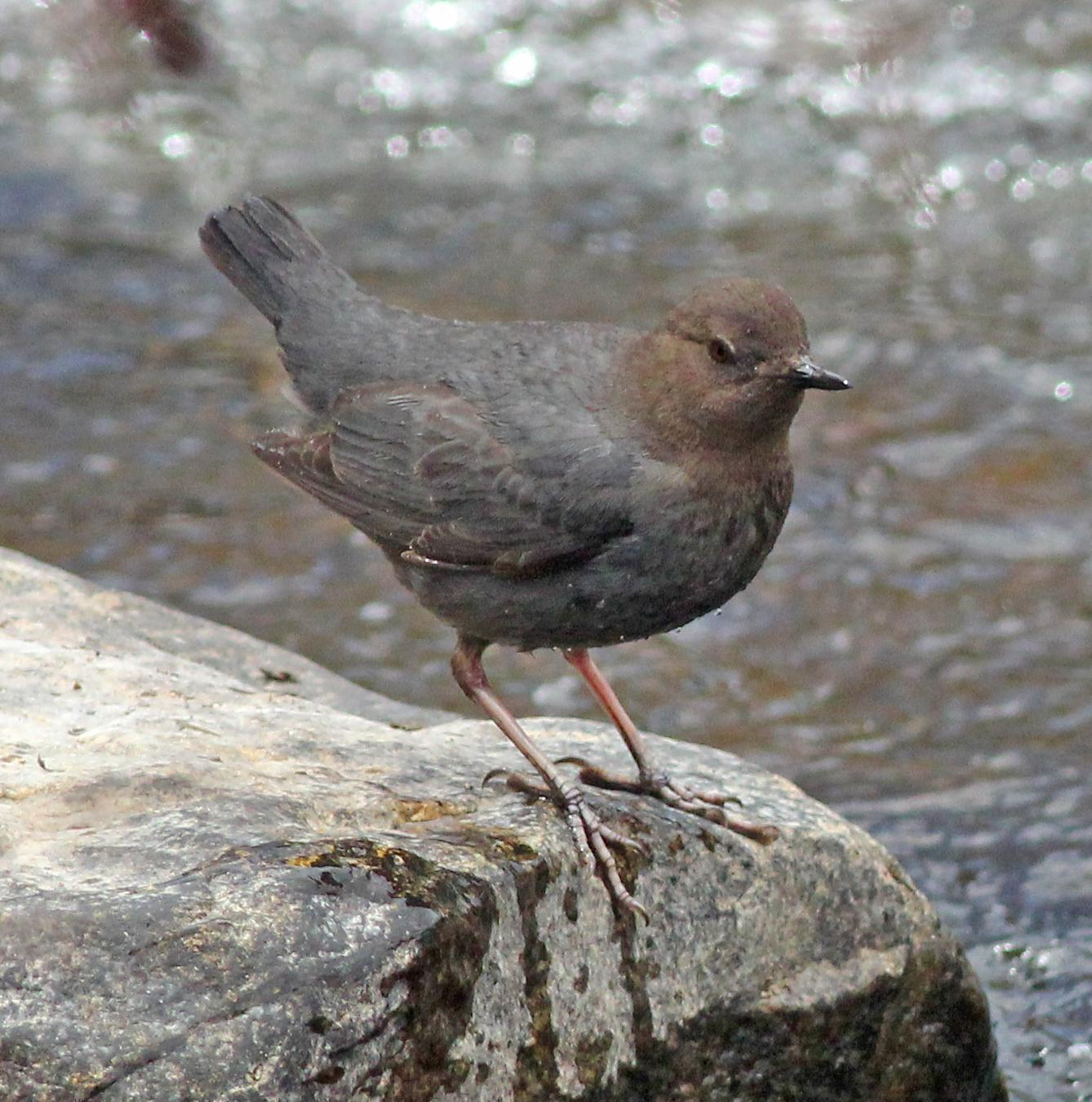American Dipper Photo by Tom Gannon