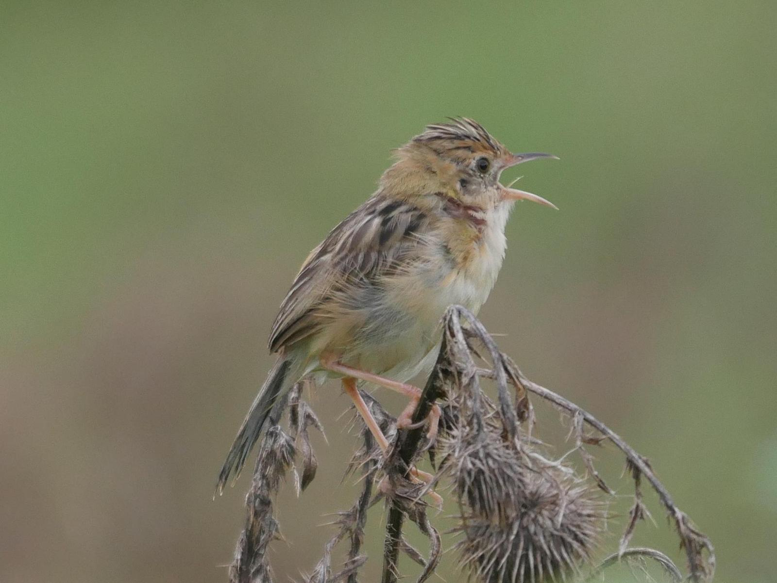 Golden-headed Cisticola Photo by Peter Lowe