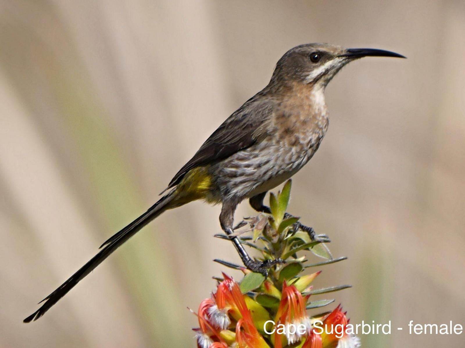 Cape Sugarbird Photo by Peter Lowe