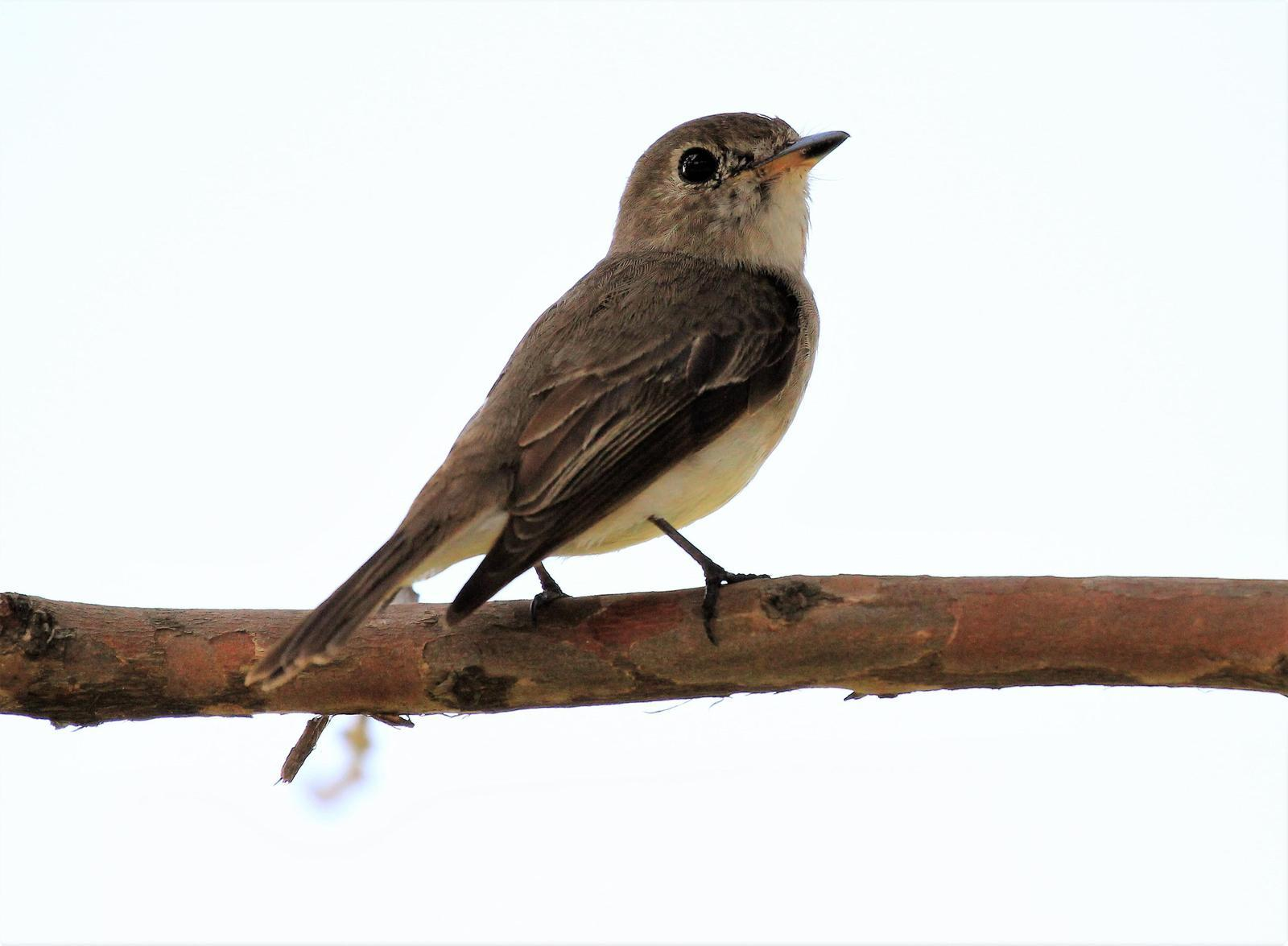 Asian Brown Flycatcher Photo by Steven Cheong