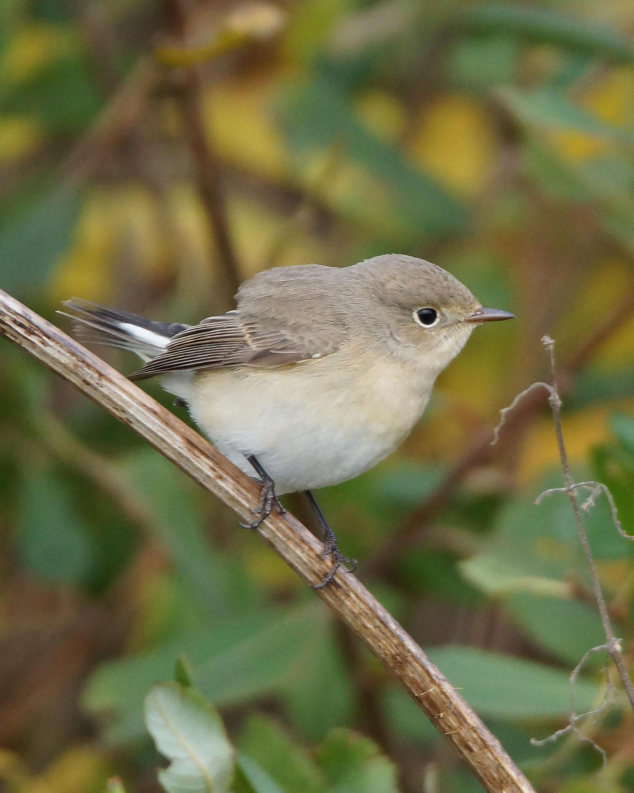 Red-breasted Flycatcher Photo by Steve Percival