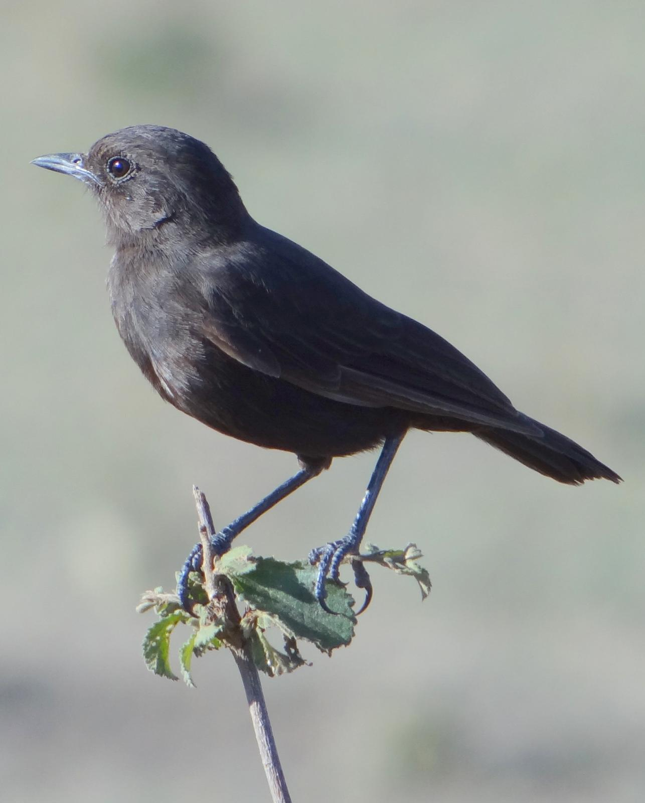 Sooty Chat Photo by Todd A. Watkins