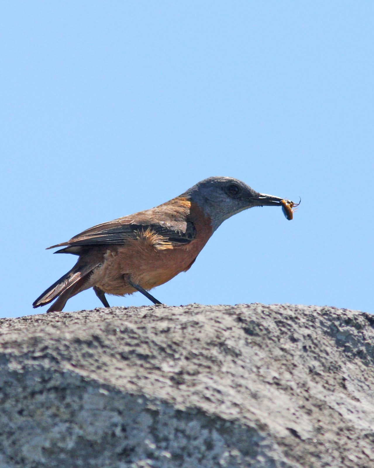 Cape Rock-Thrush Photo by Henk Baptist