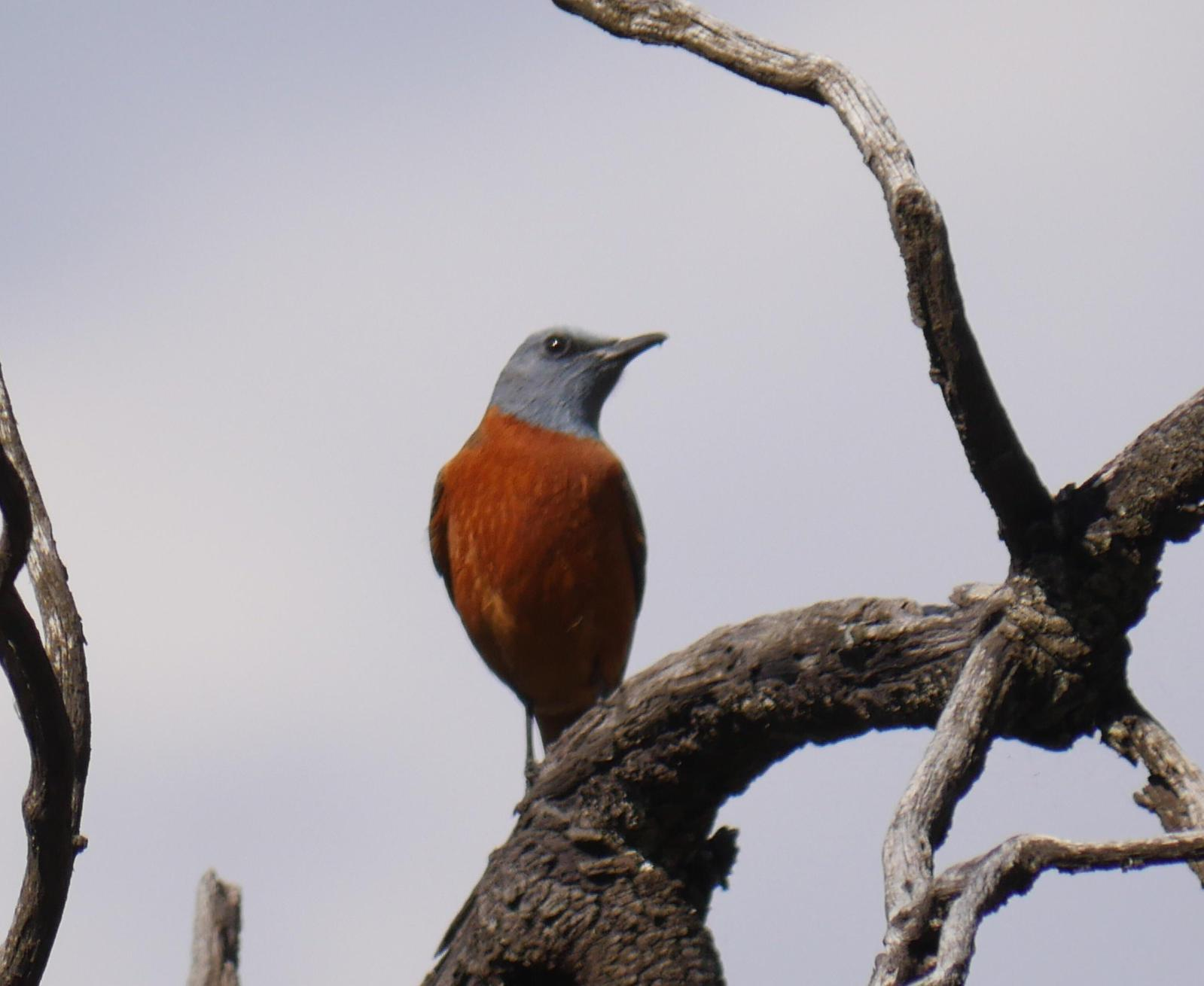 Cape Rock-Thrush Photo by Peter Lowe