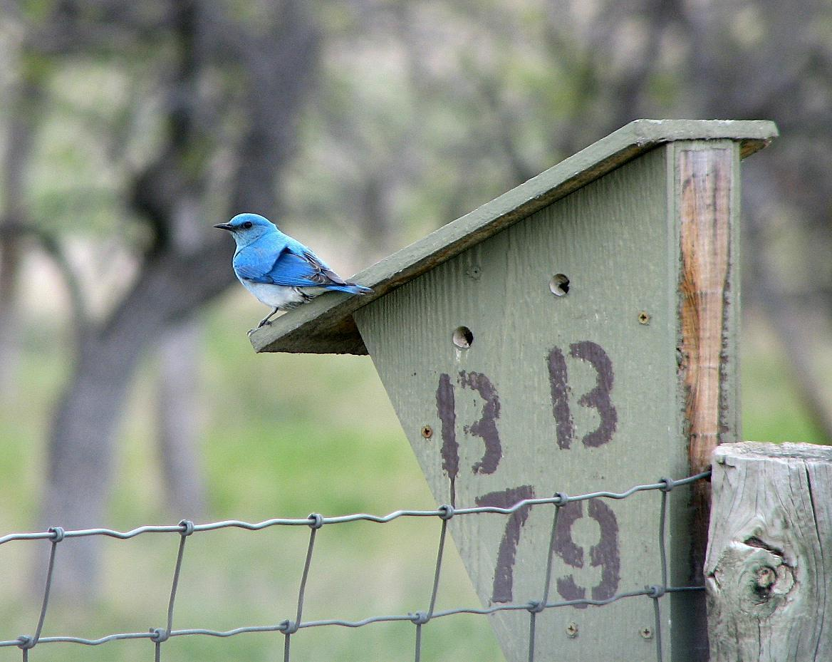 Mountain Bluebird Photo by Tom Gannon