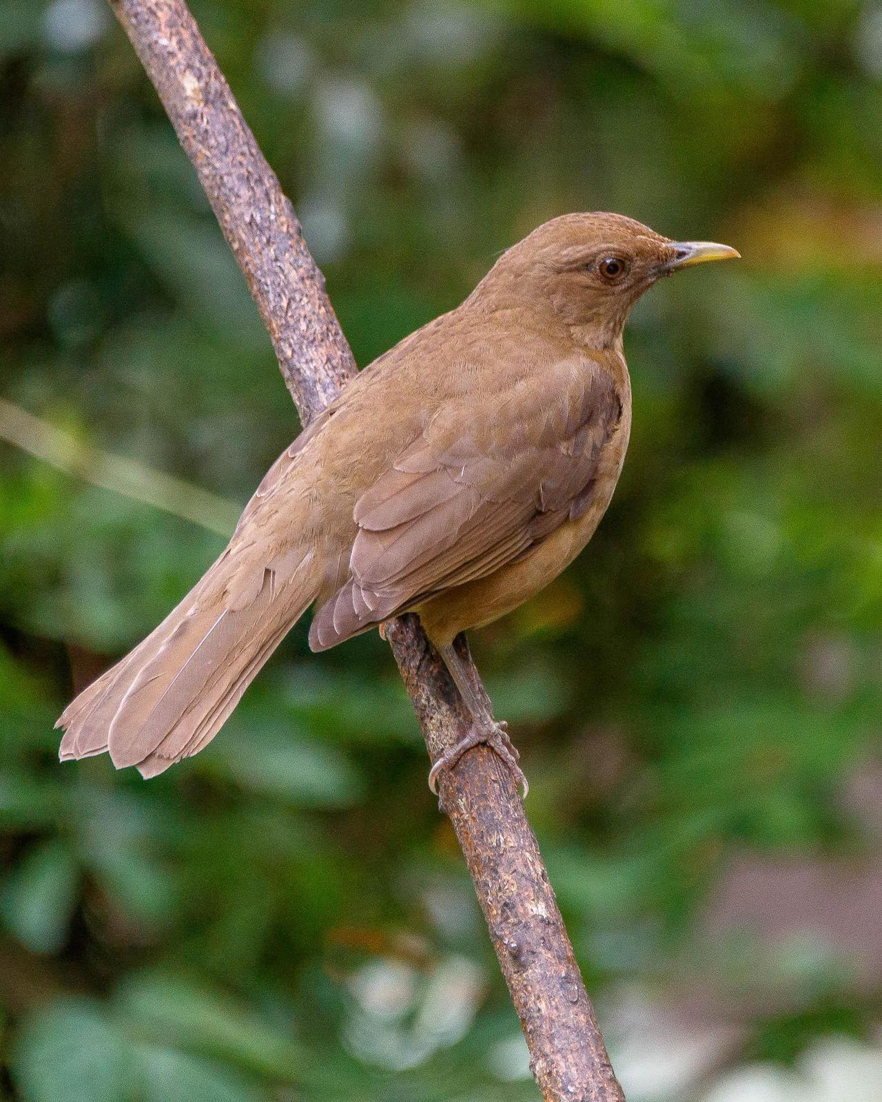 Clay-colored Thrush Photo by Denis Rivard