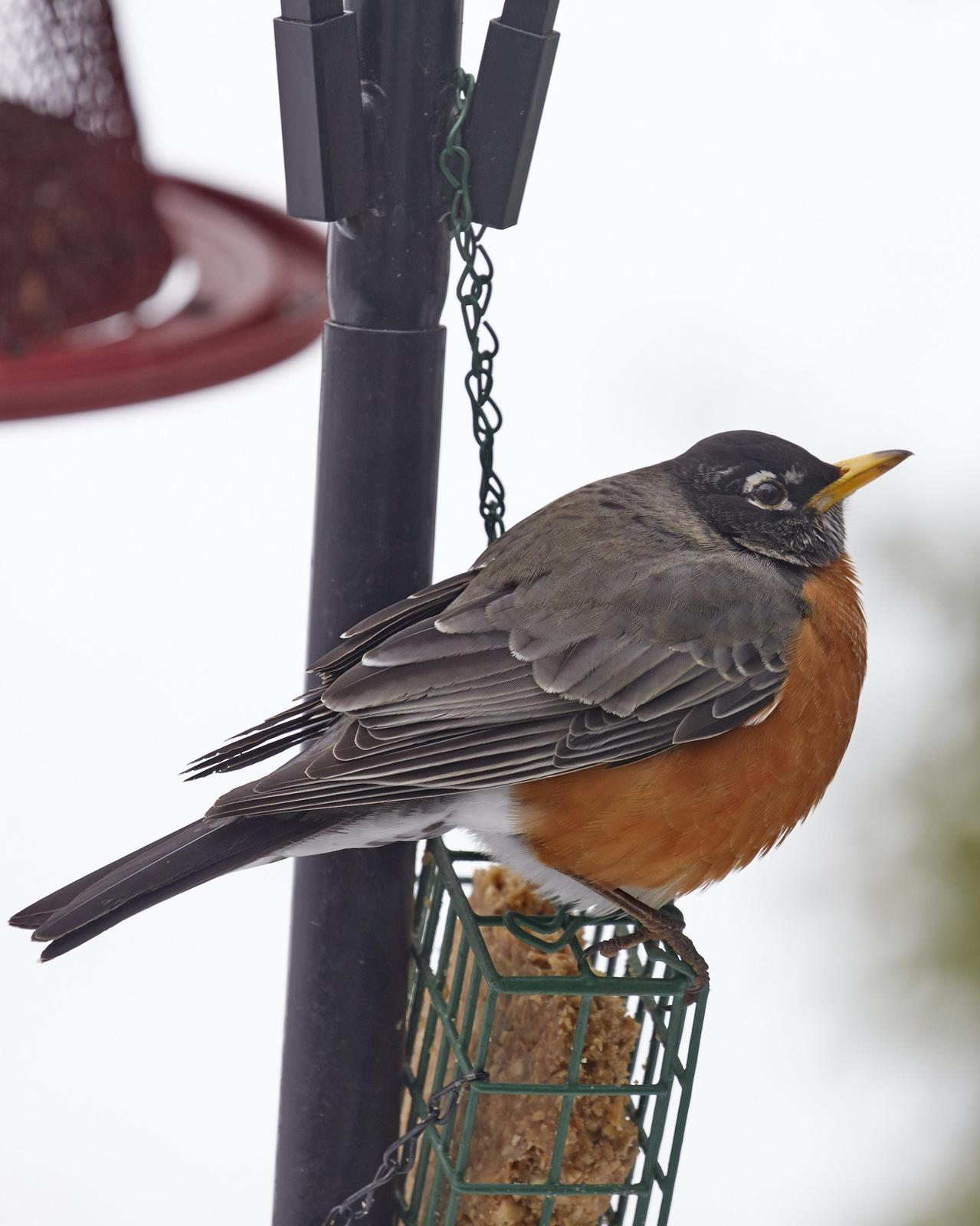 American Robin Photo by Eric Eisenstadt