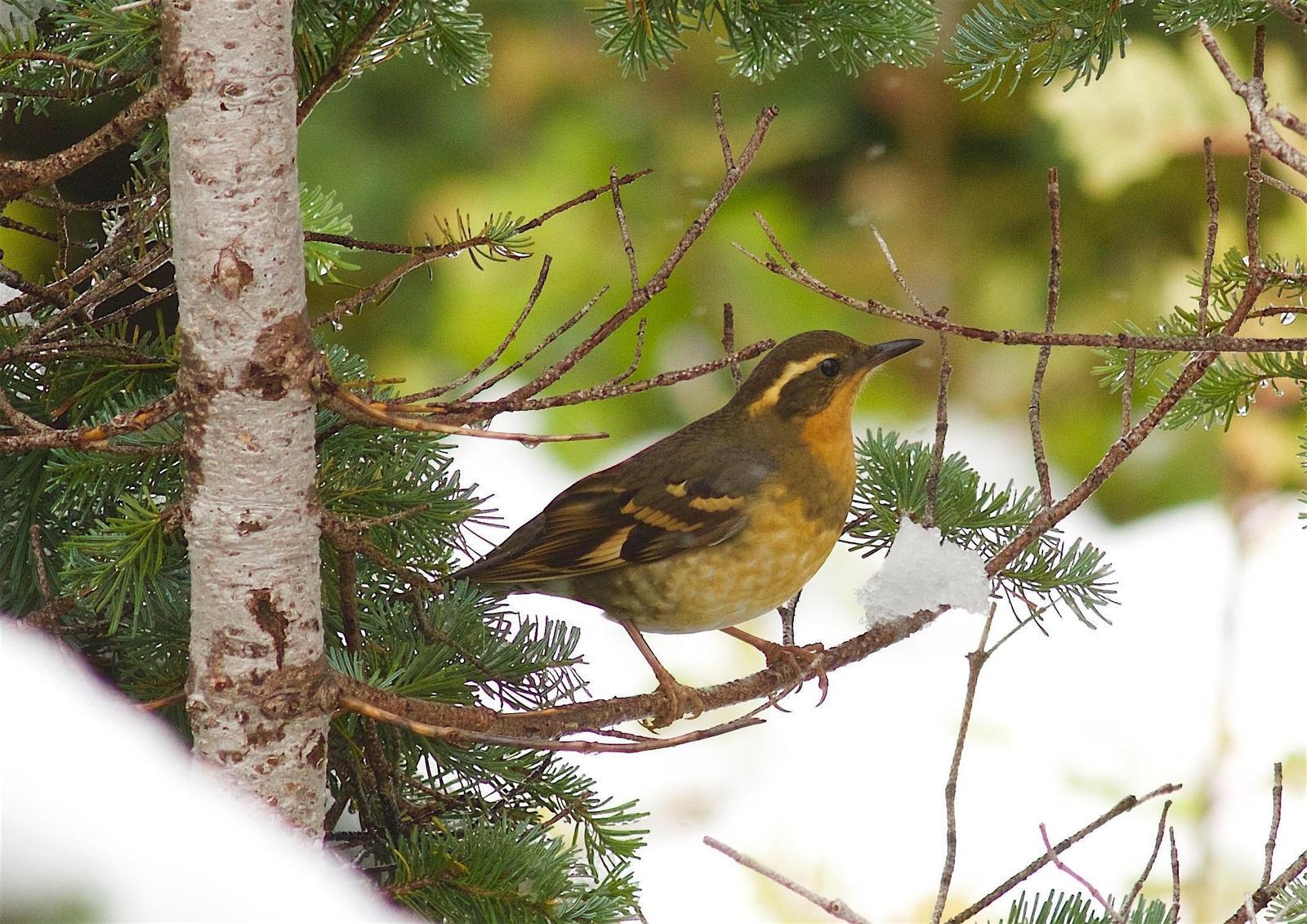 Varied Thrush Photo by Kathryn Keith