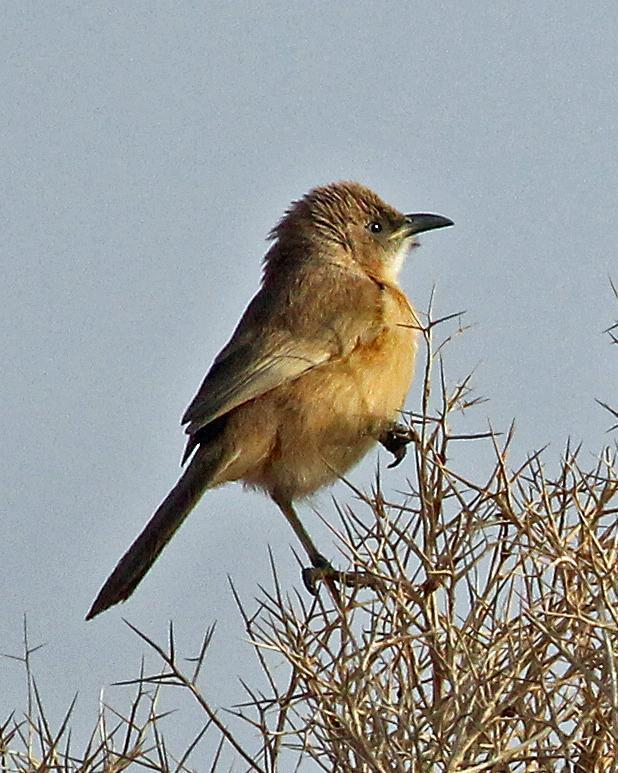 Fulvous Chatterer Photo by Robert Polkinghorn