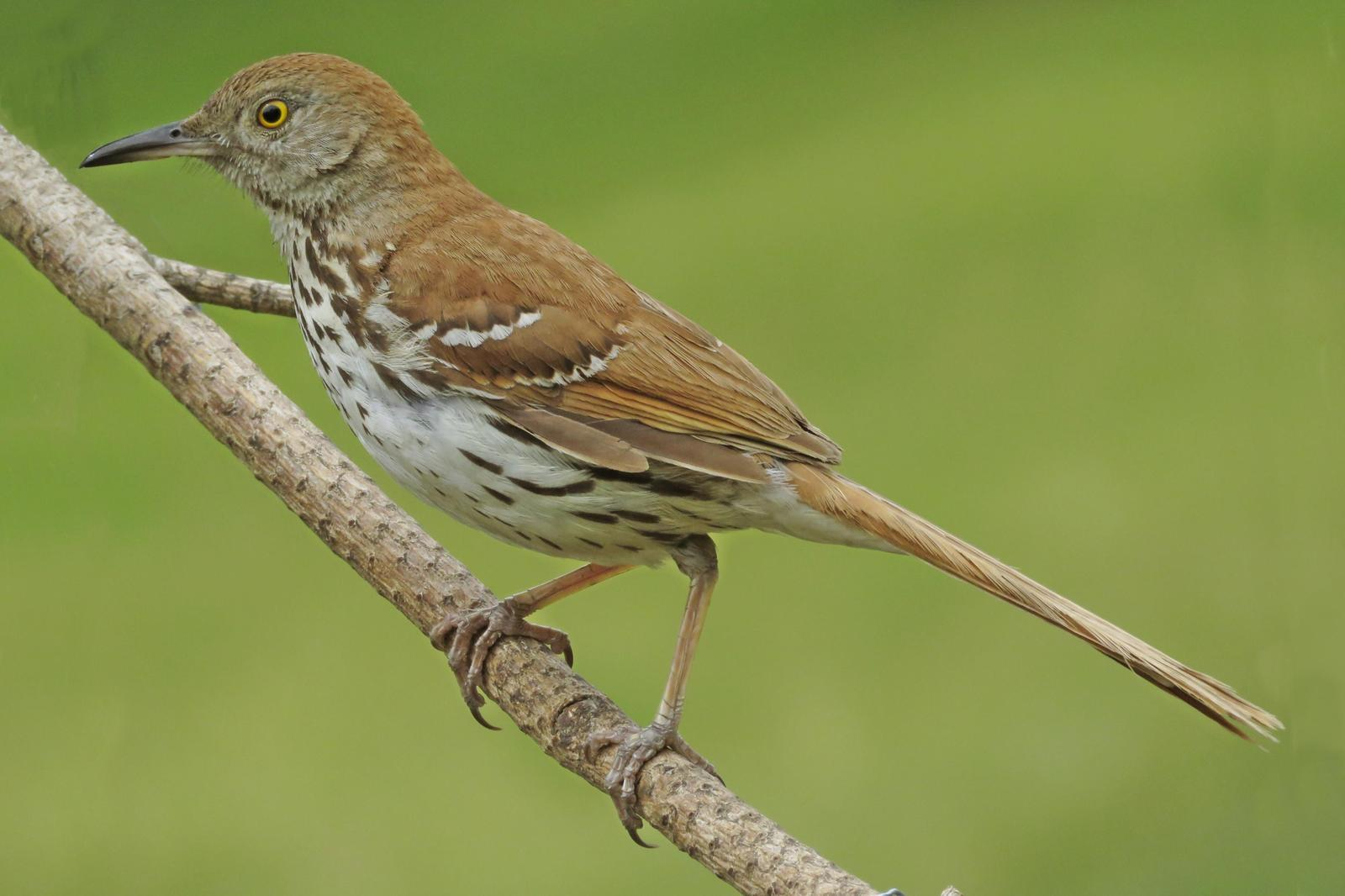 Brown Thrasher Photo by Bob Neugebauer