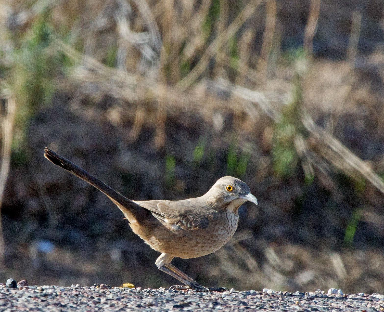 Bendire's Thrasher Photo by Scott Berglund