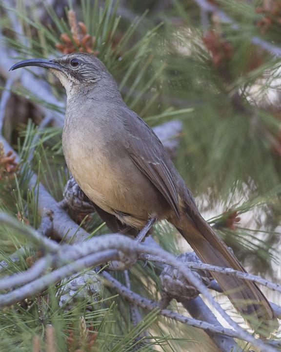 California Thrasher Photo by Anthony Gliozzo