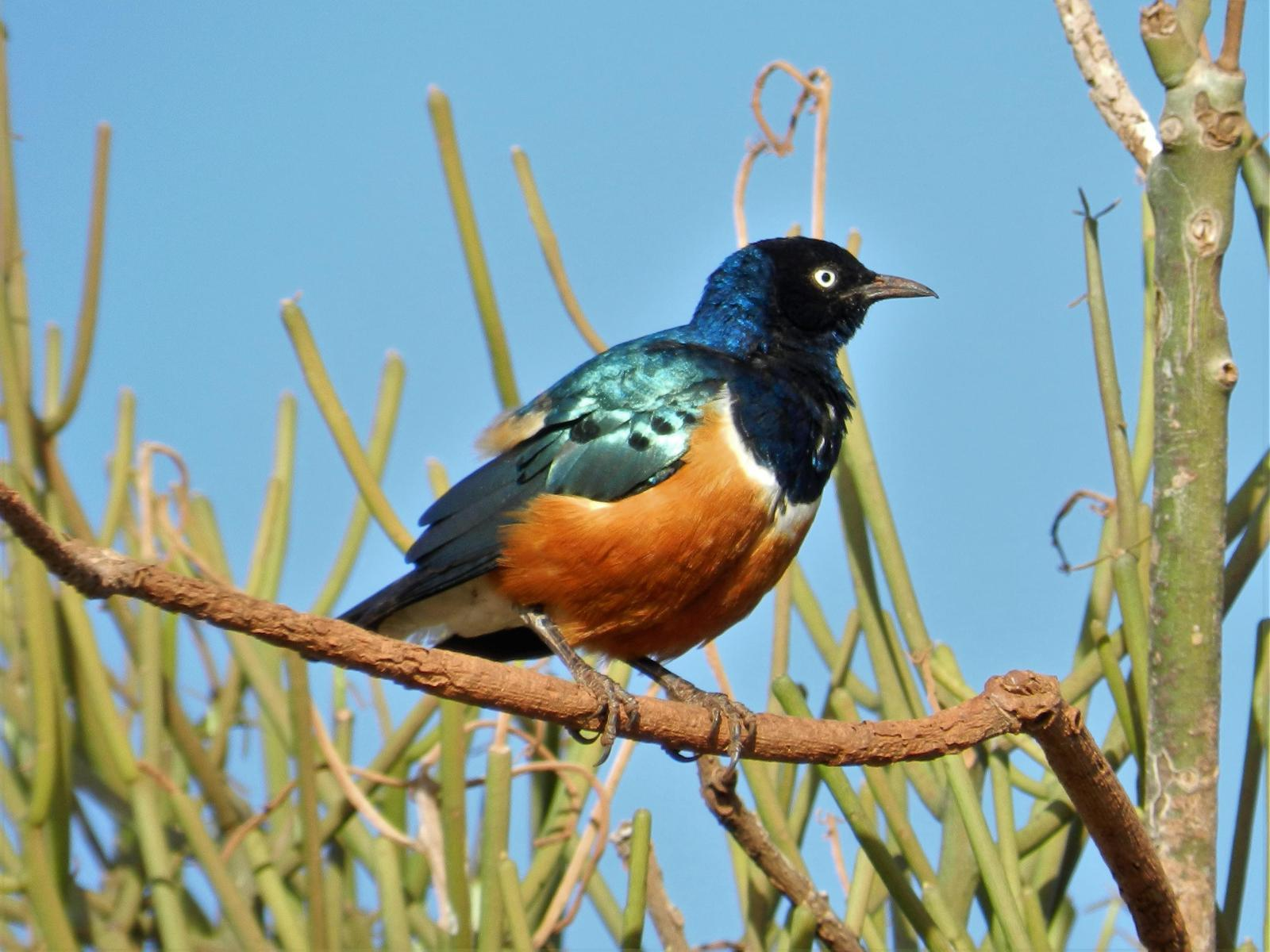 Superb Starling Photo by Richard Jeffers