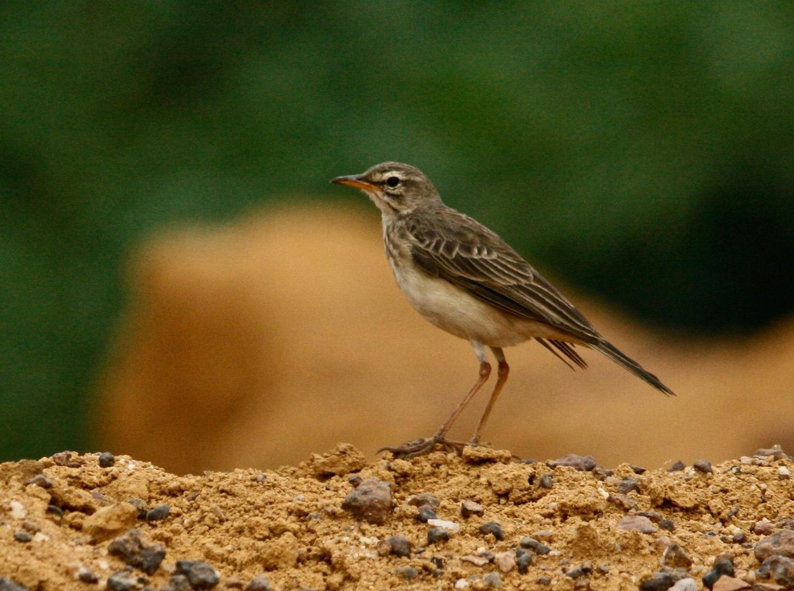 Long-legged Pipit Photo by Oscar Johnson