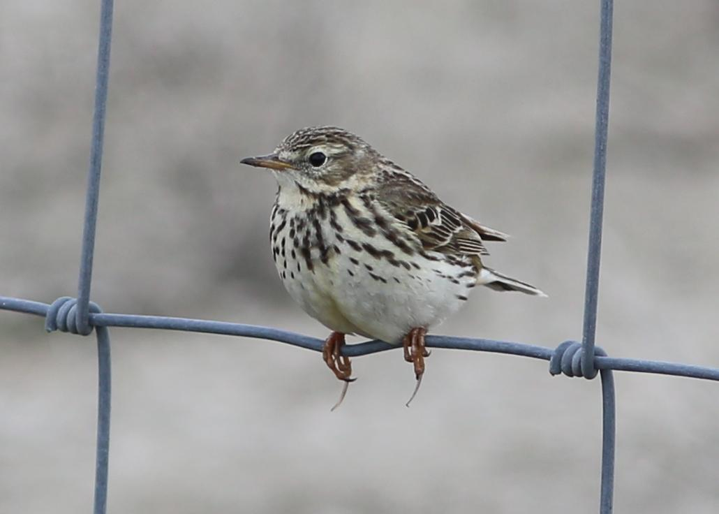 Meadow Pipit Photo by Rohan van Twest