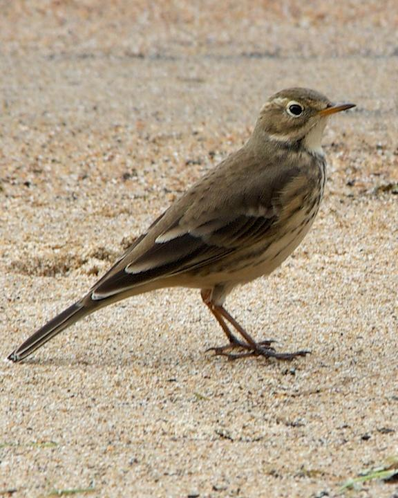 American Pipit Photo by Denis Rivard