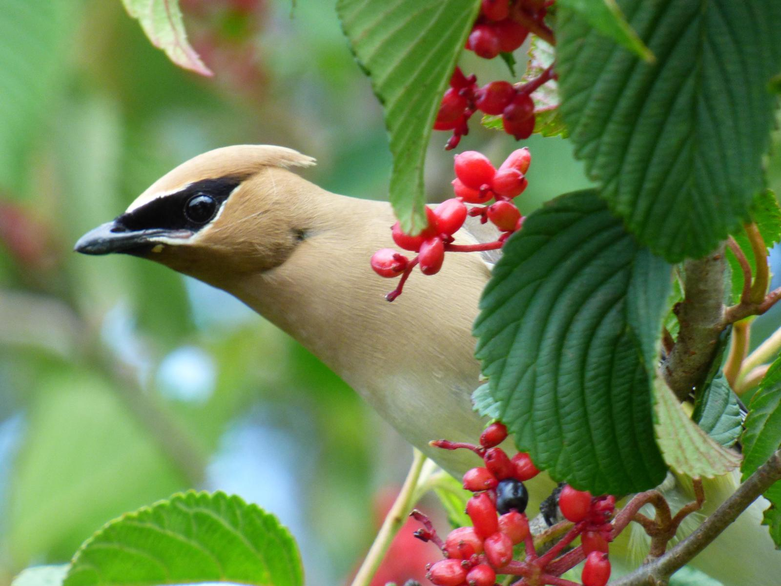 Cedar Waxwing Photo by Phil Ryan