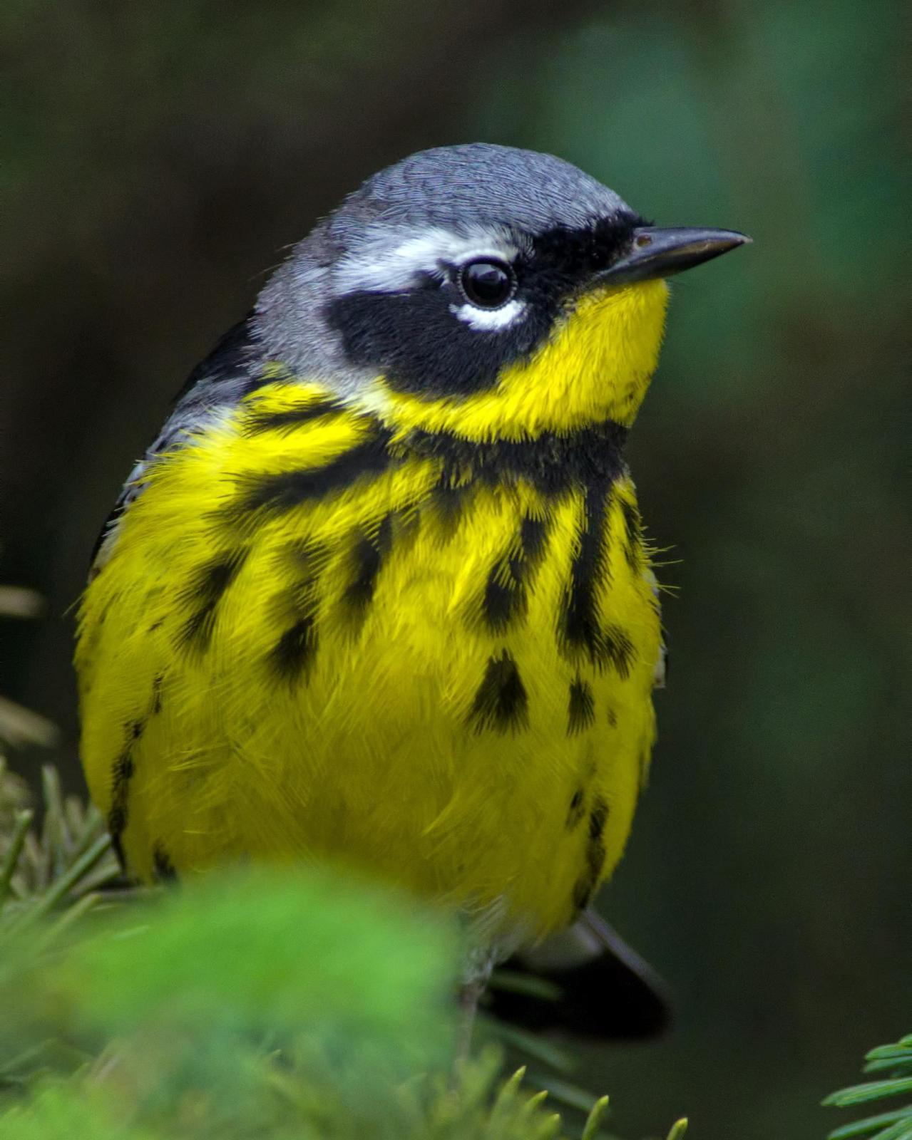 Magnolia Warbler Photo by Rob Dickerson