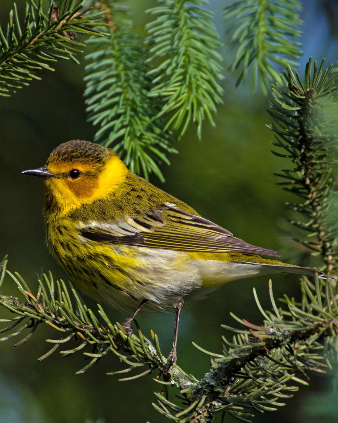 Cape May Warbler Photo by Rob Dickerson