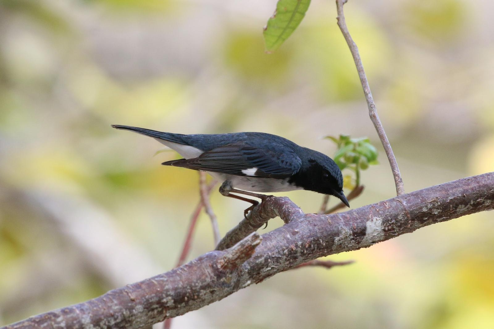 Black-throated Blue Warbler Photo by Richard Jeffers