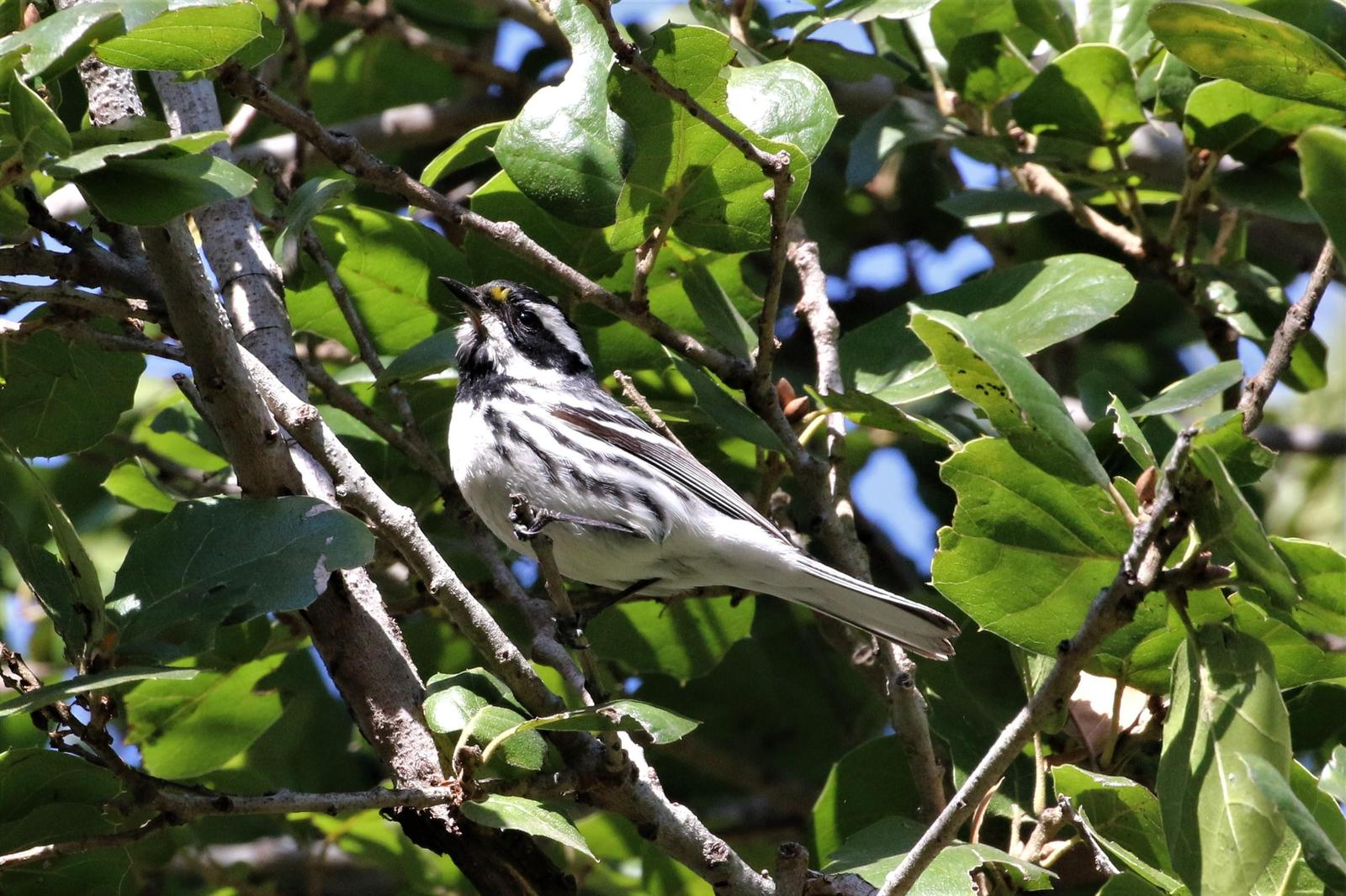 Black-throated Gray Warbler Photo by Richard Jeffers