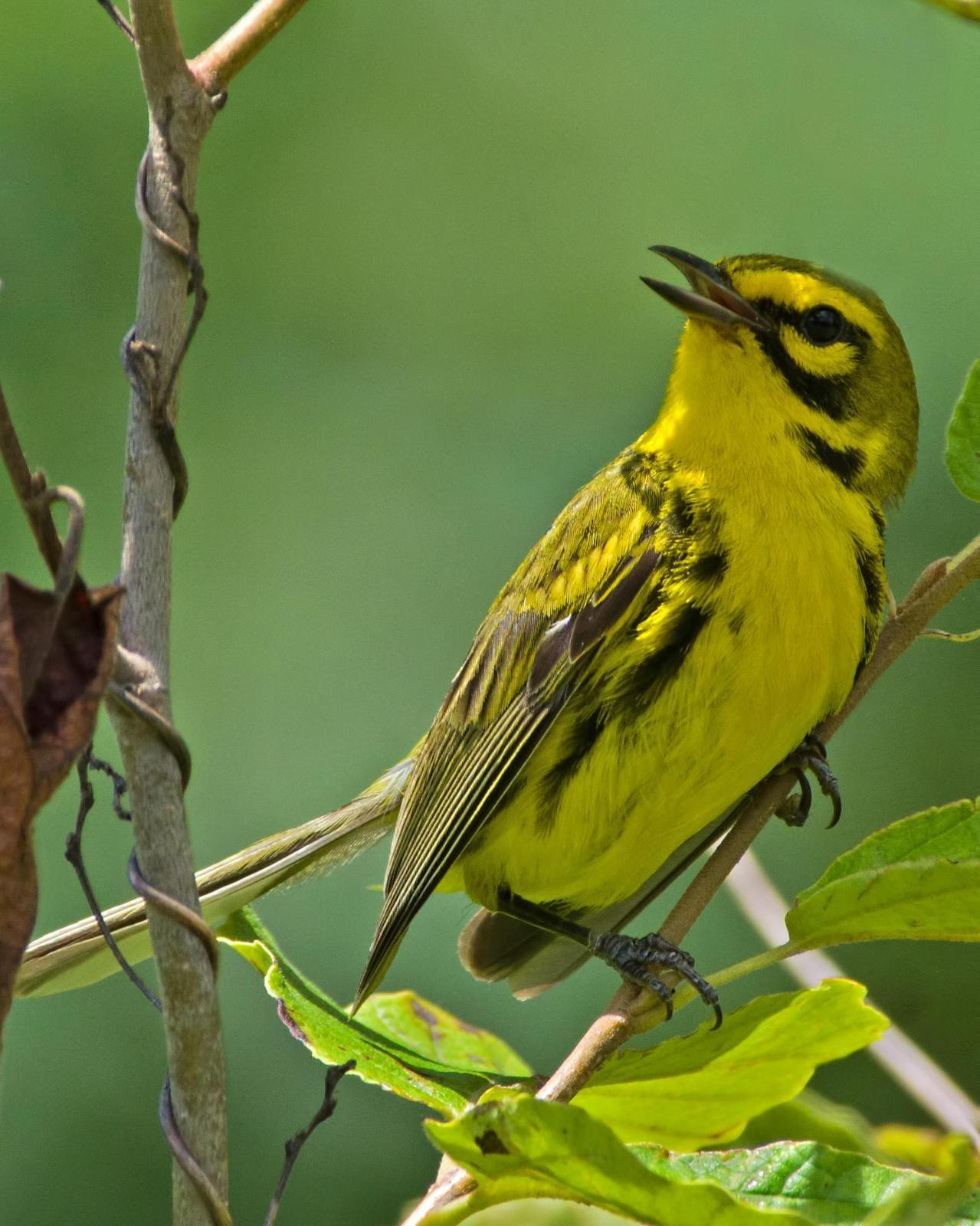 Prairie Warbler Photo by Rob Dickerson