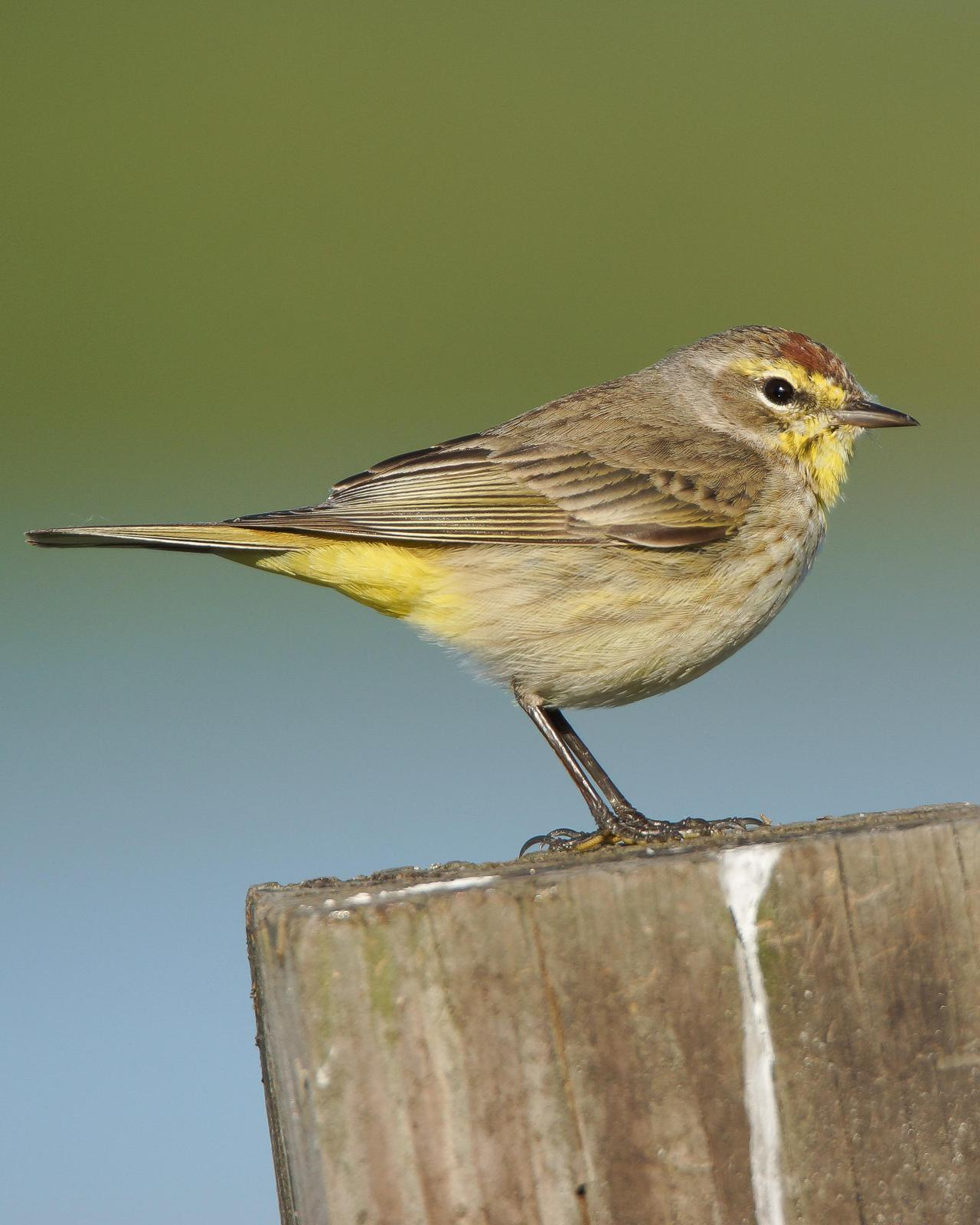 Palm Warbler Photo by Steve Percival