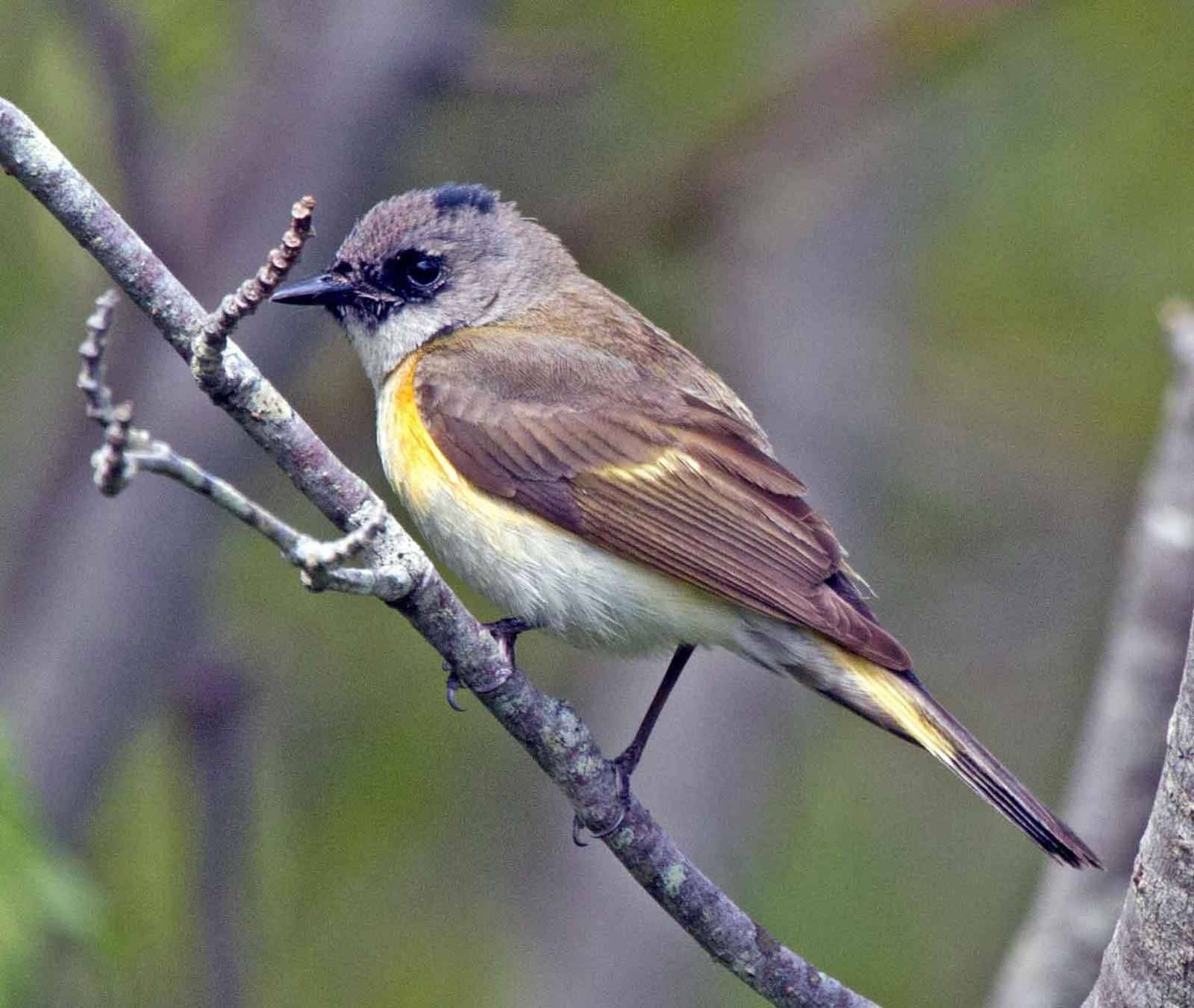 American Redstart Photo by Scott Berglund