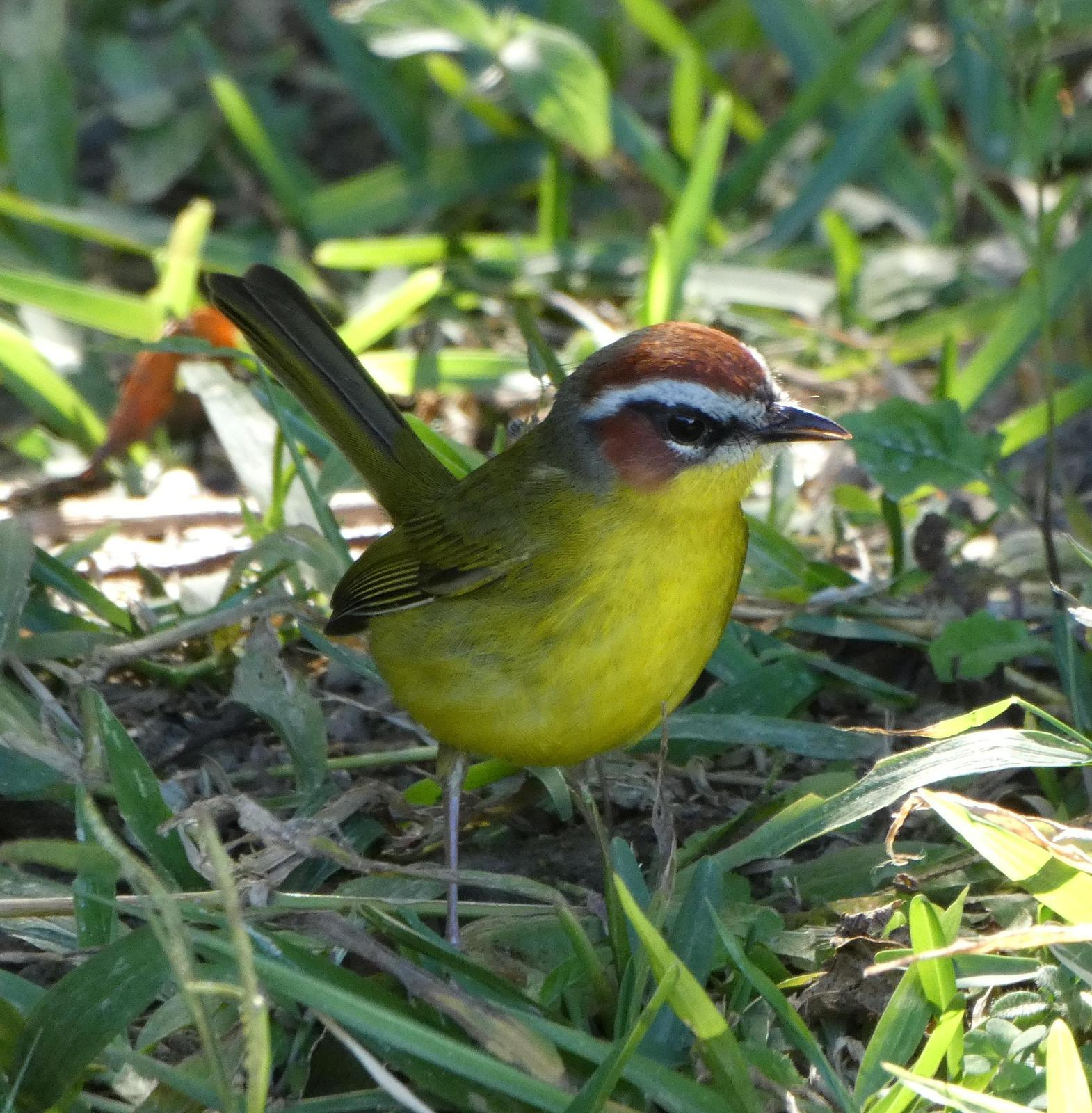 Rufous-capped Warbler Photo by Phil Ryan