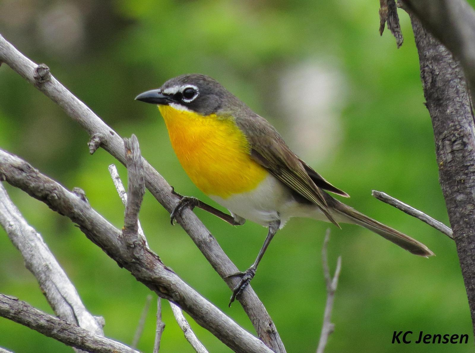 Yellow-breasted Chat Photo by Kent Jensen