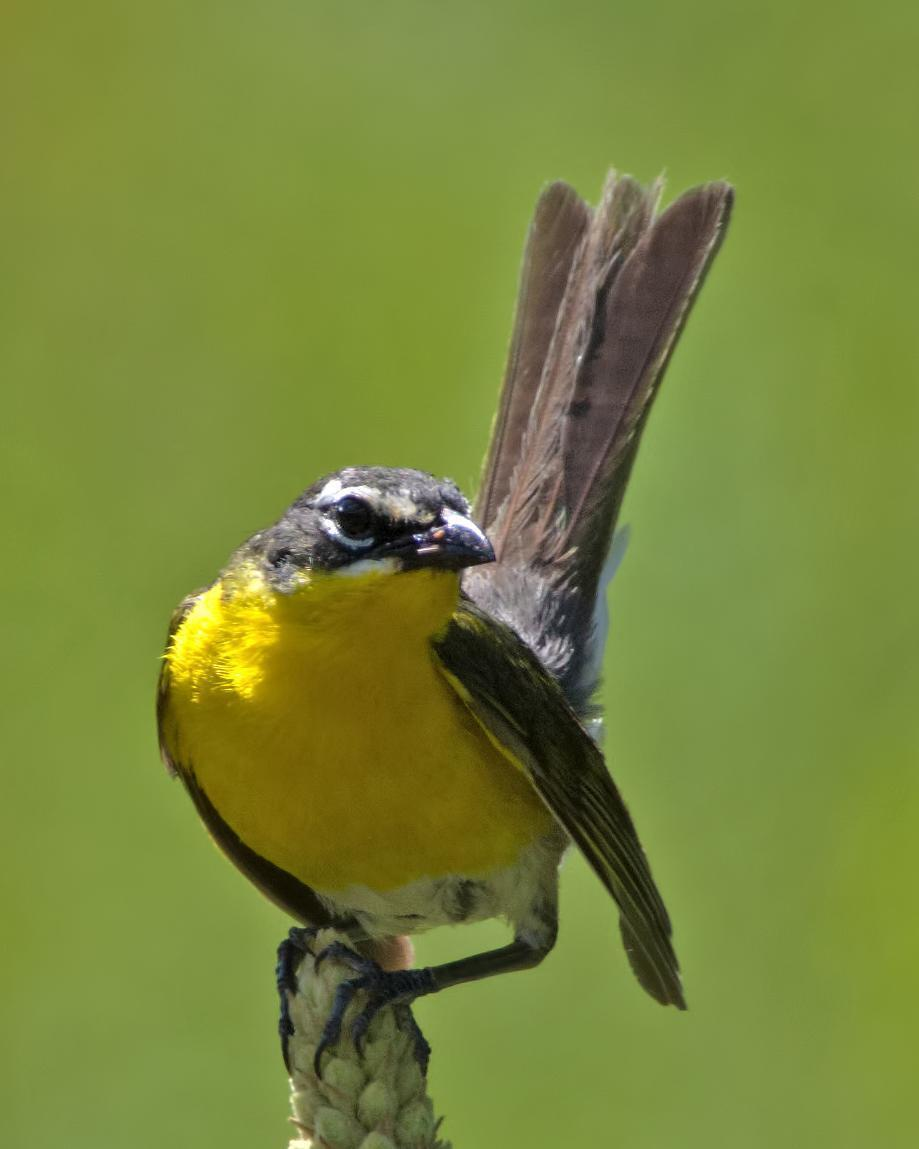Yellow-breasted Chat Photo by Rob Dickerson