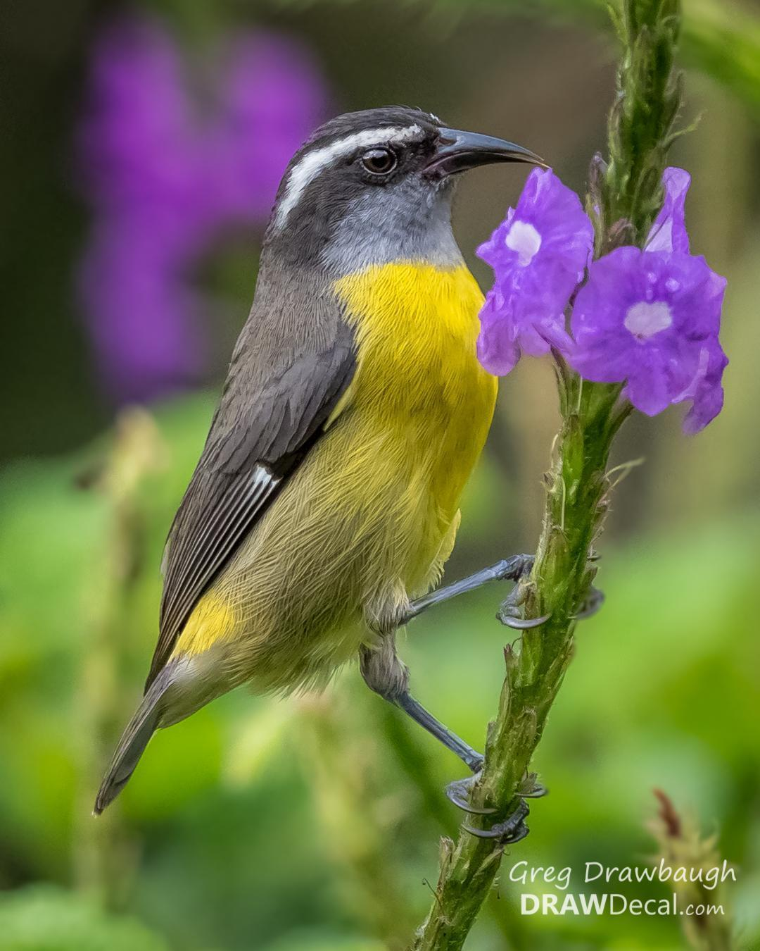 Bananaquit Photo by Greg Drawbaugh