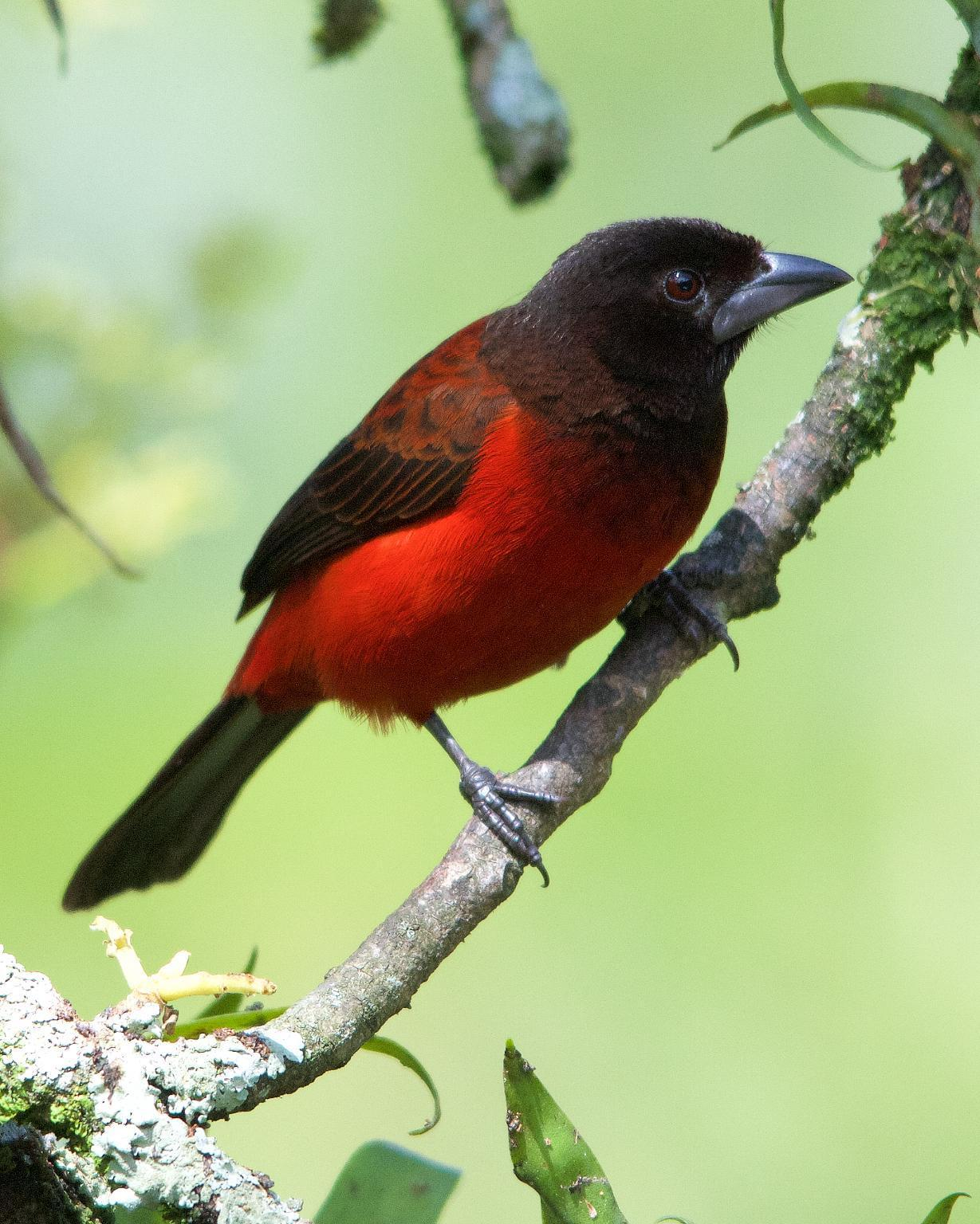 Crimson-backed Tanager Photo by Denis Rivard