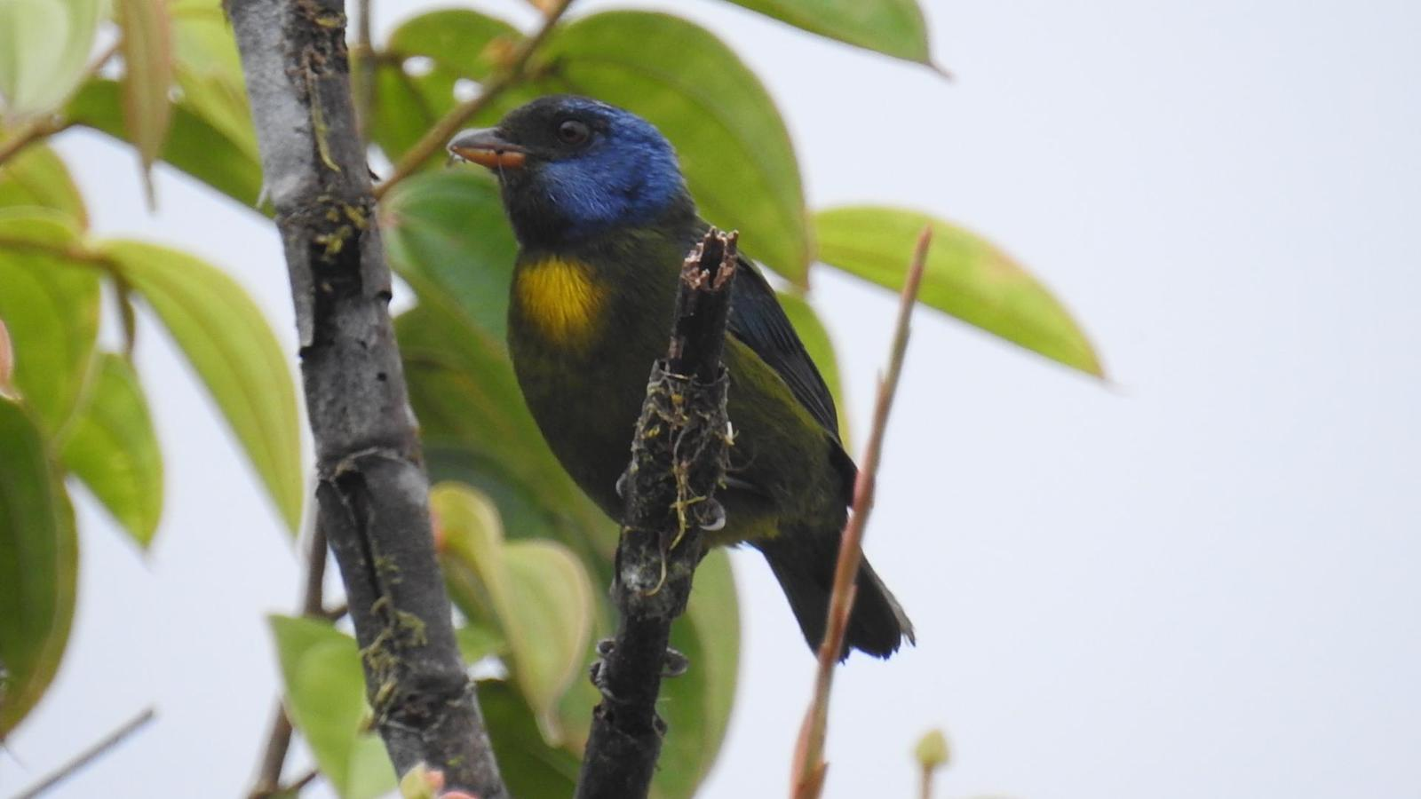 Moss-backed Tanager Photo by Julio Delgado