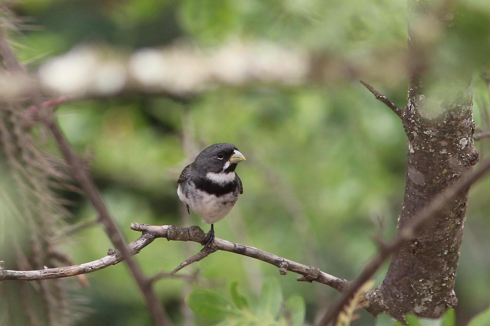 Double-collared Seedeater Photo by Oscar Johnson