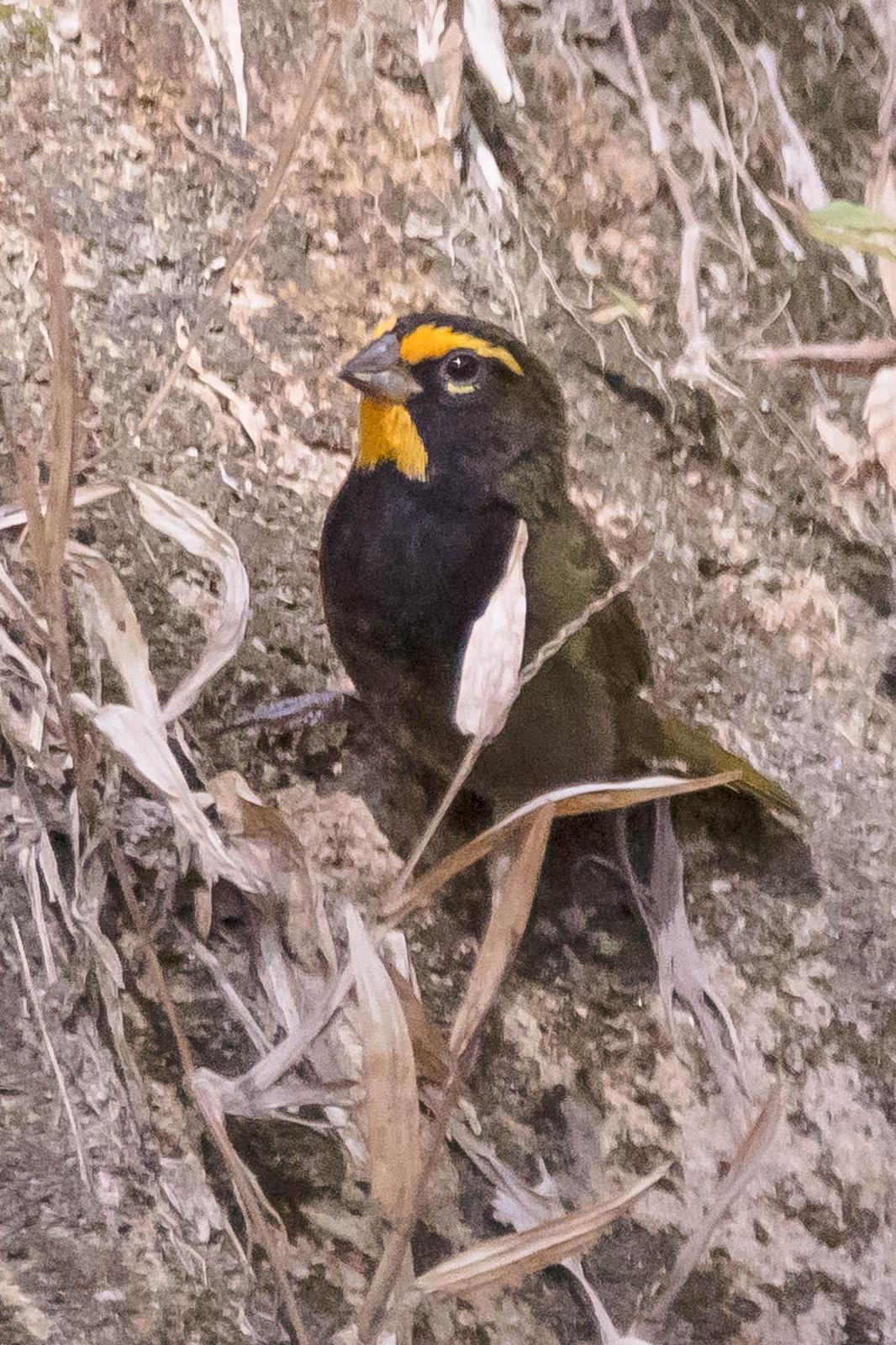 Yellow-faced Grassquit Photo by Denis Rivard