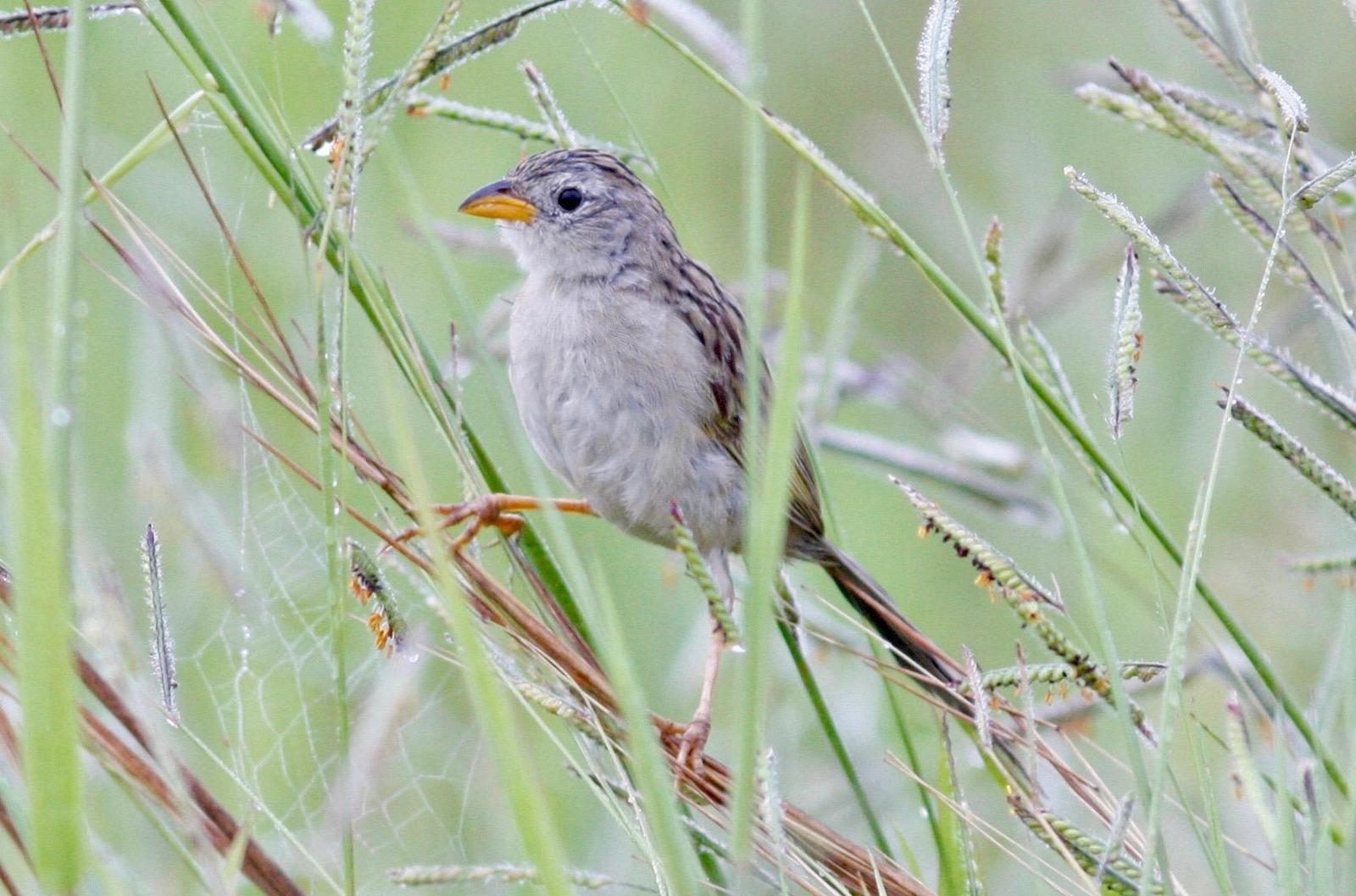 Wedge-tailed Grass-Finch Photo by Andre  Moncrieff